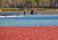 Cranberry harvest during a Sojourn Cape Cod bike tour