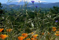 Oregon-bicycle-tours-wildflower-Mt-Hood-600x800