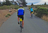 Sojourn California wine country bike tour cyclists riding through flock of sheep on the Sonoma Coast