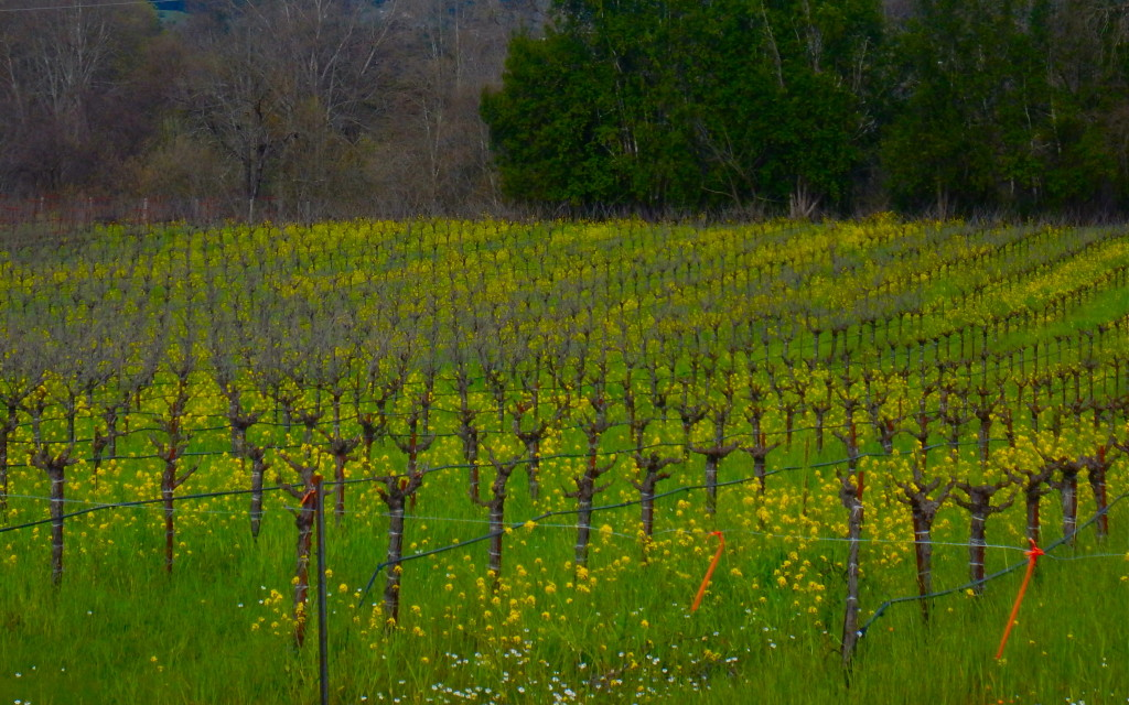 The grape vines were dormant for the winter, with a cover crop of mustard blooming as temperatures warmed