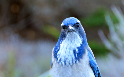 Western Scrub Jay up close and personal on a Sojourn Bike Tour