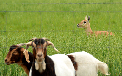 young pronghorn seen during a Sojourn bike tour in Texas