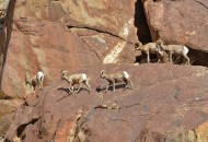 Bighorn-Sheep-5-Anza-Borrego-900x600-W