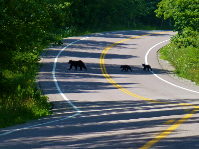 black bears and cubs can sometimes be seen during summer cycling vacations in Vermont